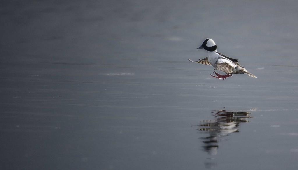 Duck land