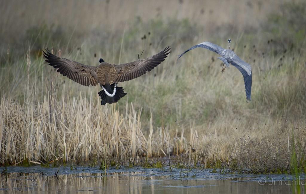 Goose chase Heron