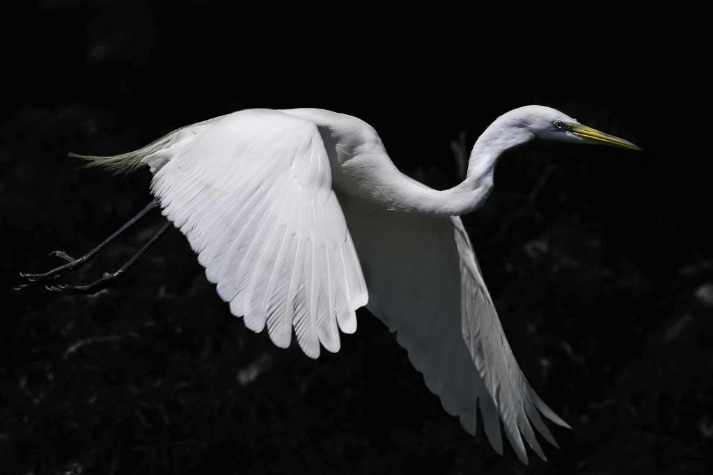 Great Egret on BandW