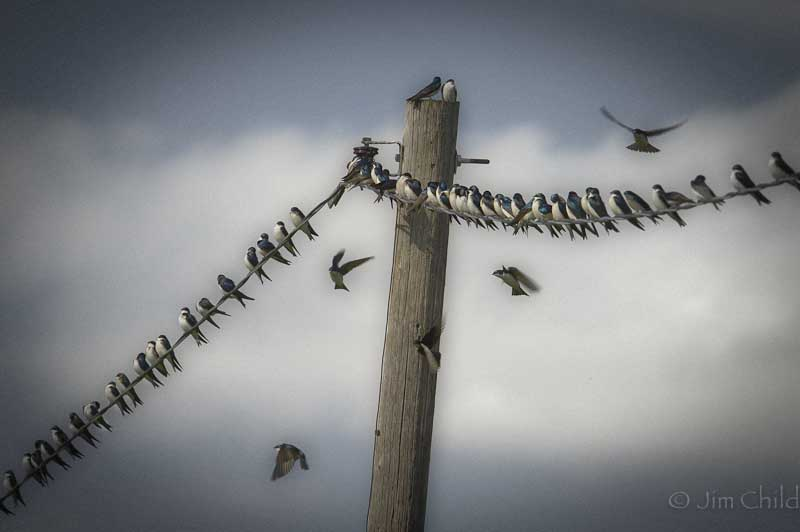 Swallow crowd