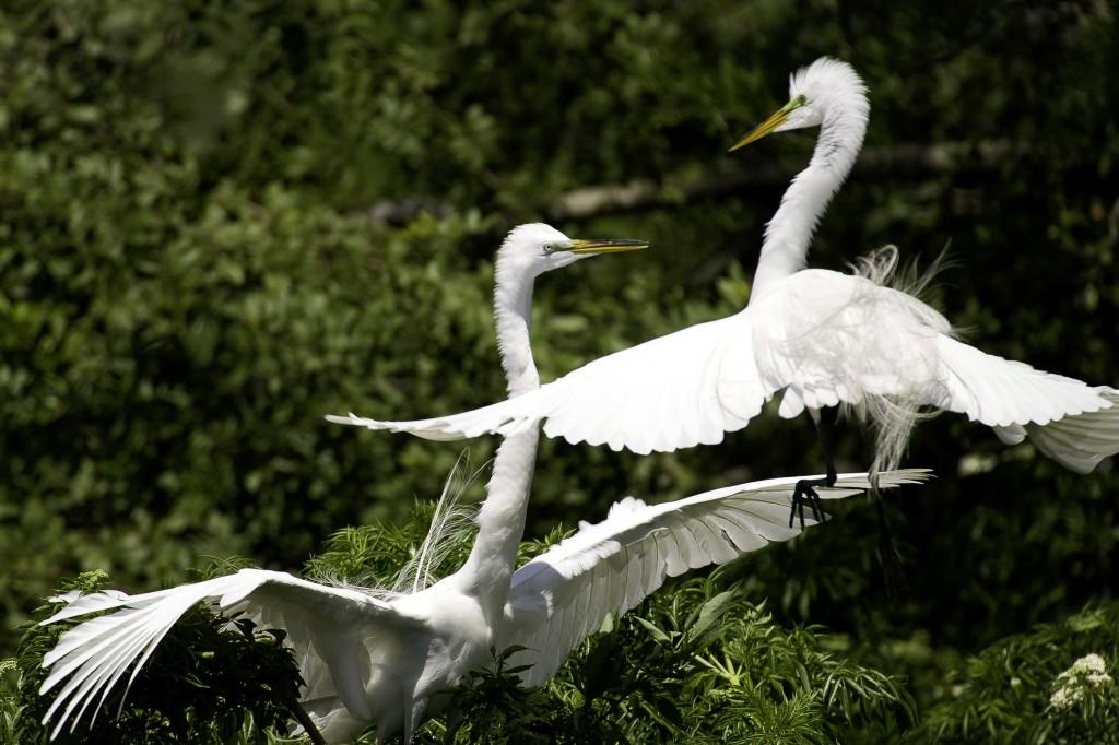egret fight