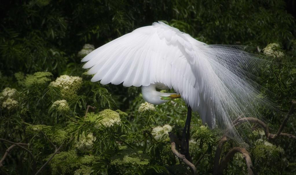 great egret head wing