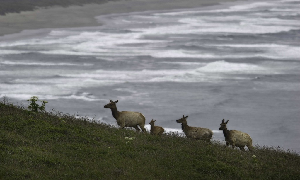 Elk with ocean