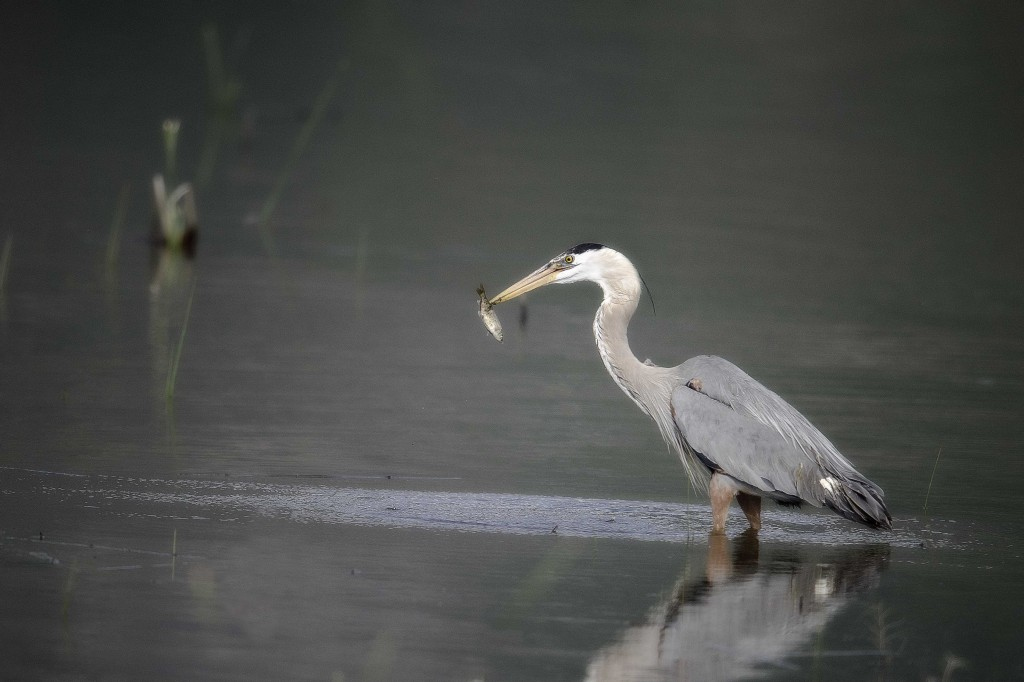 Heron fish midnight