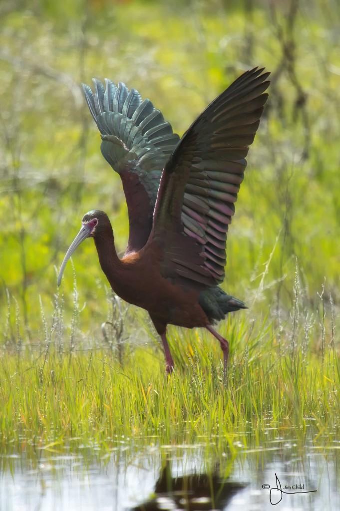 Ibis wings up