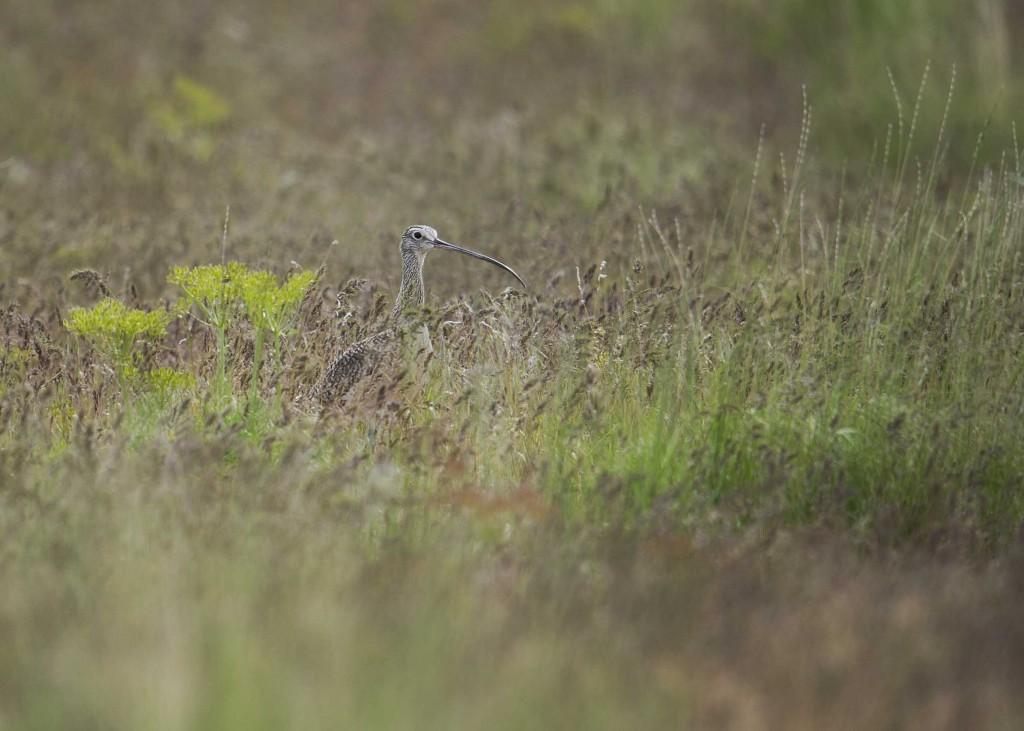 longbirdbeak