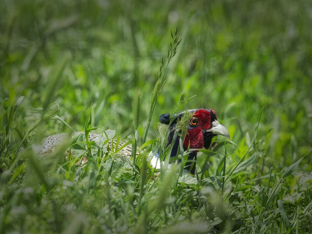 pheasanthide