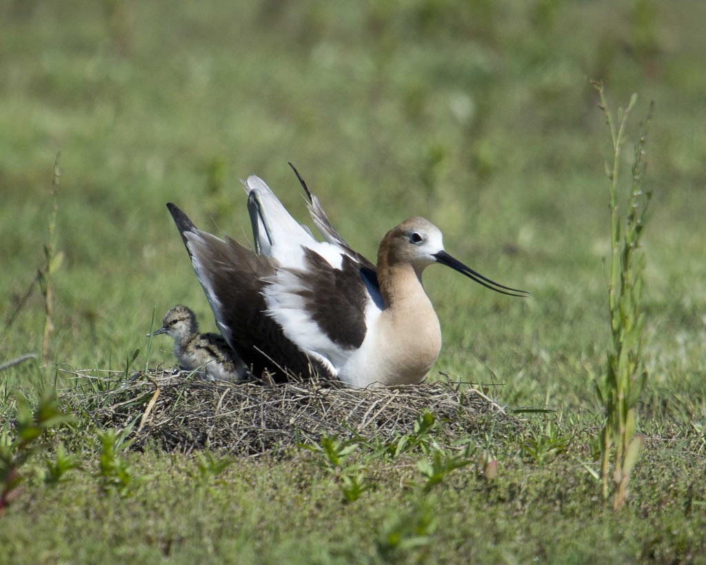 Avocetchickbehindmom