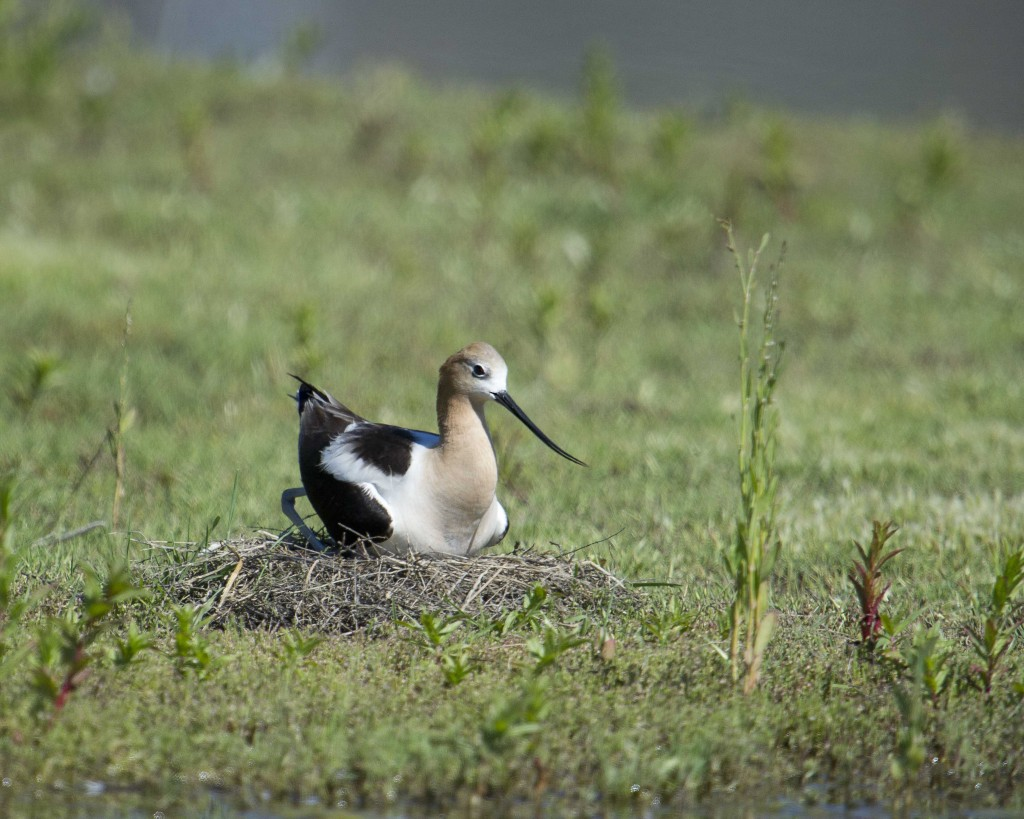 Avocetonnestchicks