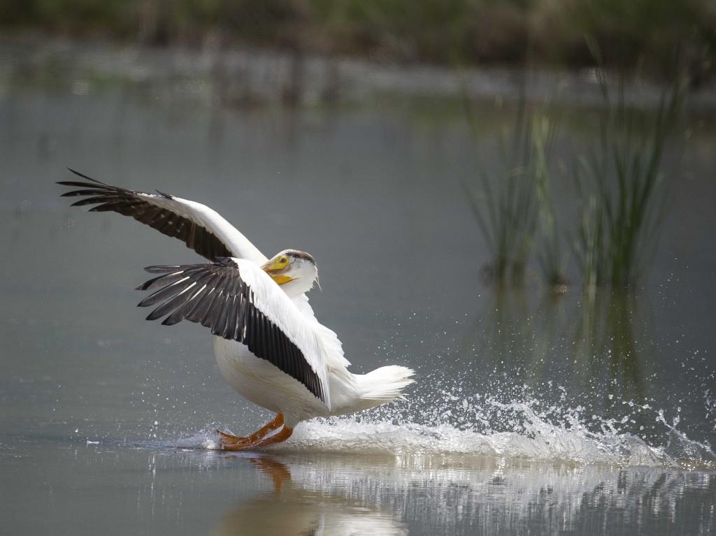 pelicanland
