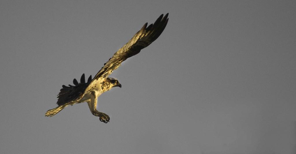 Cheney Osprey 1