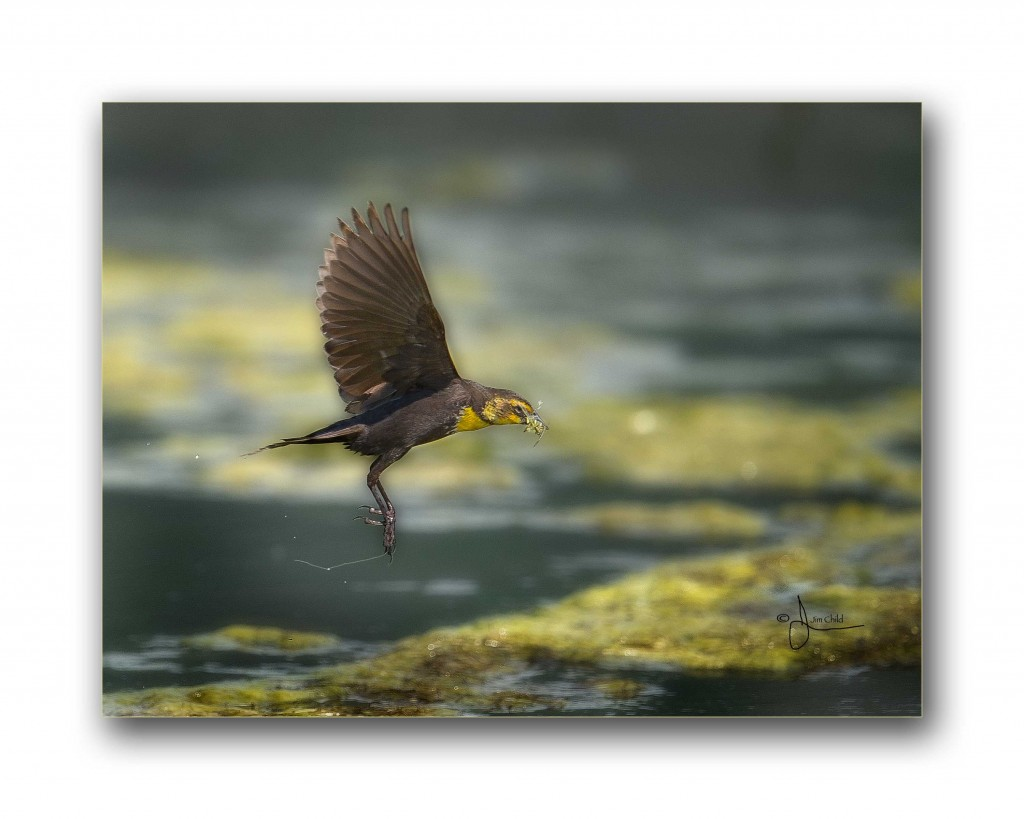 Yellow Headed Blackbird FM