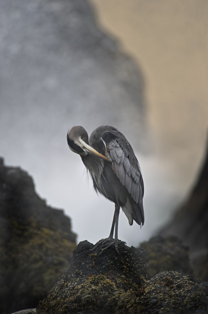 Oregon Blue Heron color