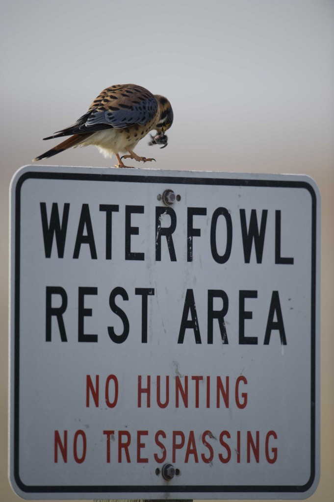 Kestral on Sign eating