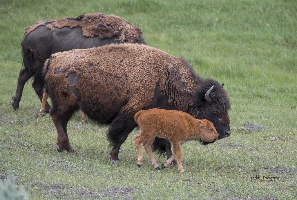 Yellowstone Buffalo  U00bb Jim Child Photography
